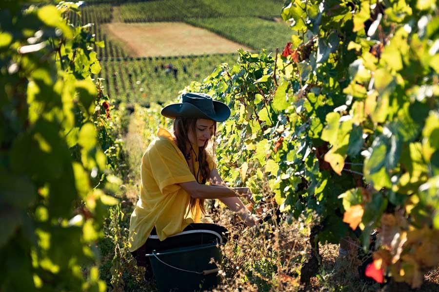 Harvest 2019 at the Hospices de Beaune wine estate